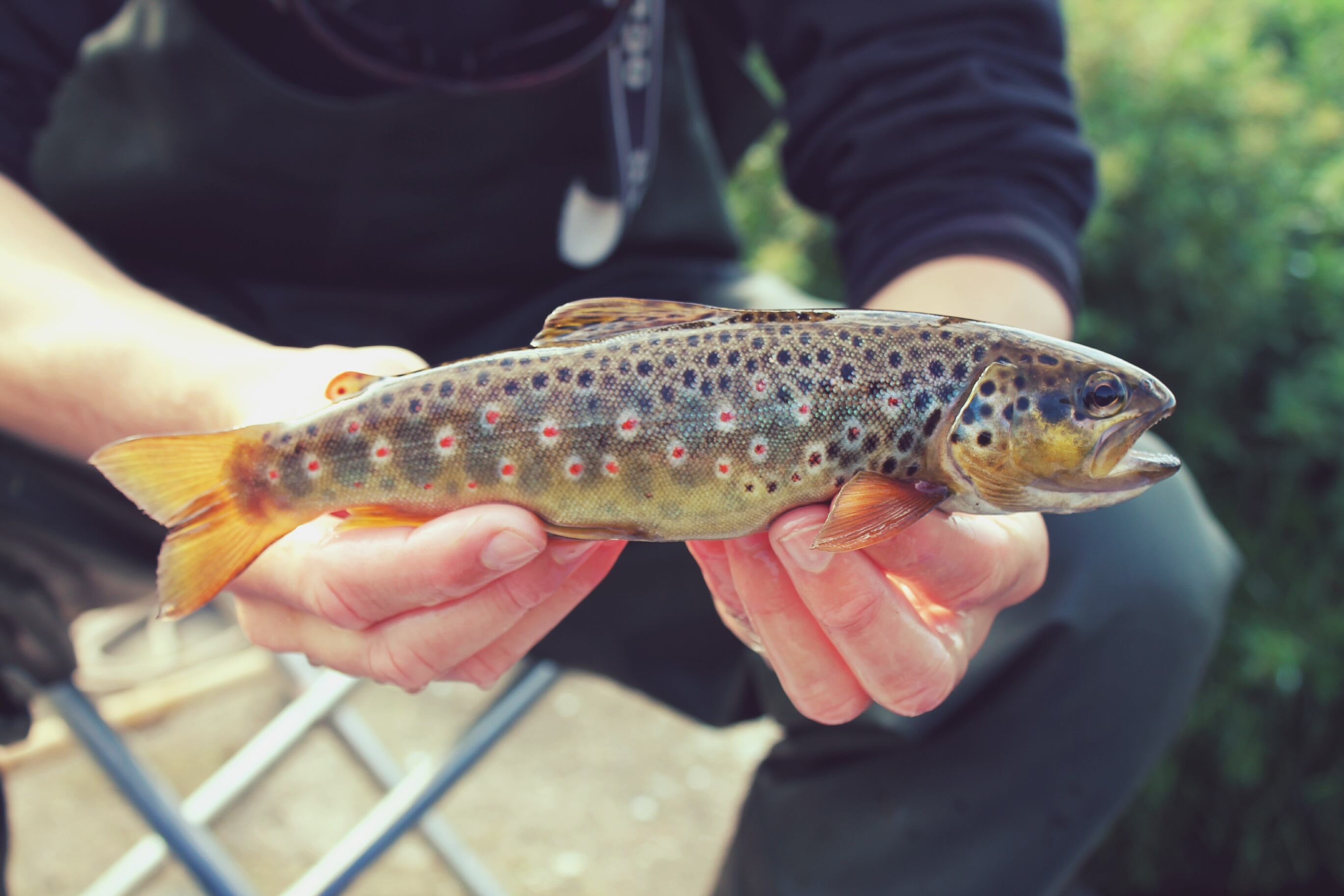 Resident brown trout, River Binderup