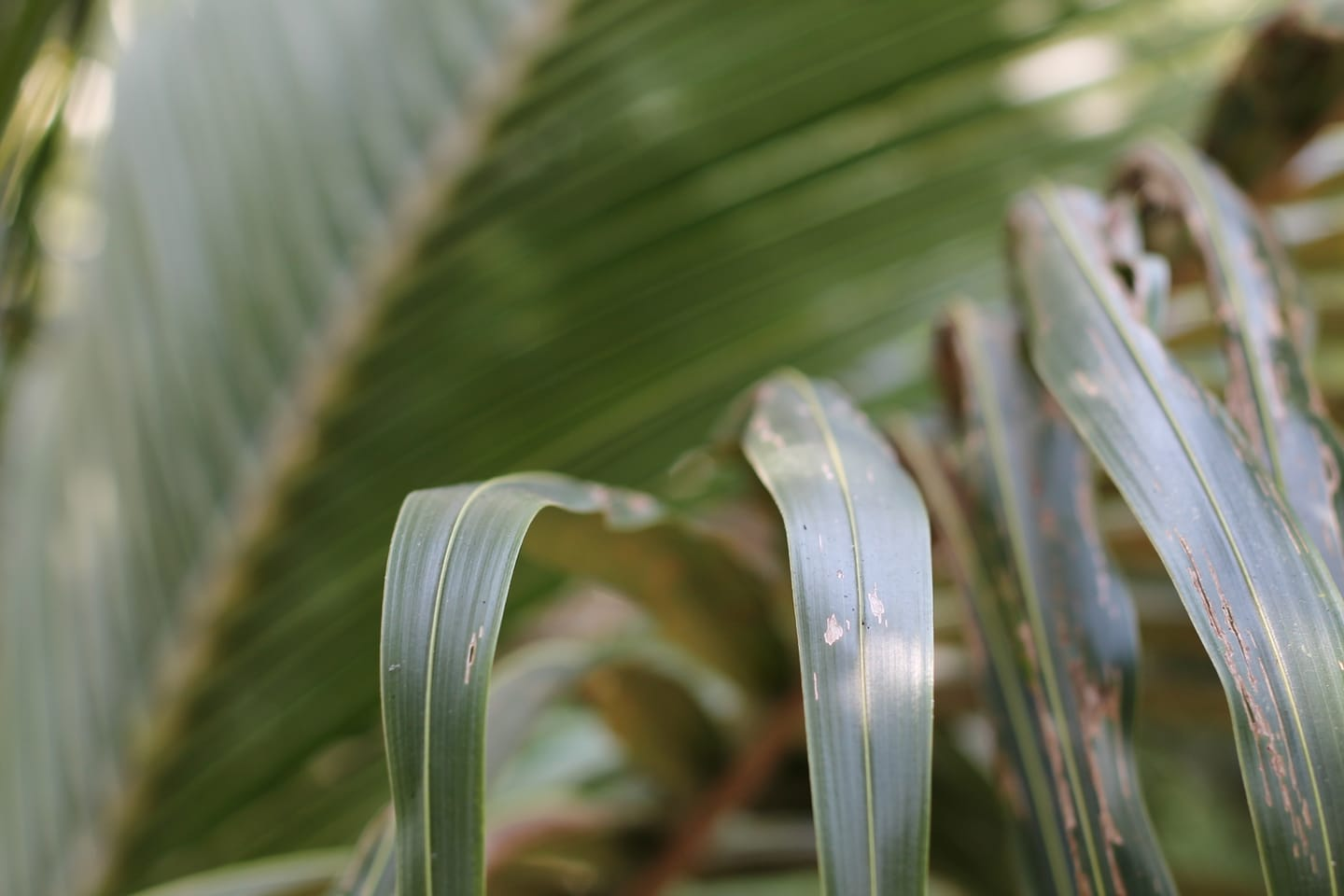 Palm leaves, Mekong Delta,Vietnam