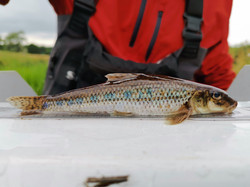 Gudgeon, River Omme