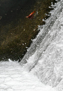 Kokanee attempting to overcome a barrier