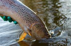 Sea trout being released, River Villestr