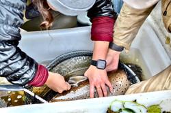 PIT-tagging sea trout, River Villestrup