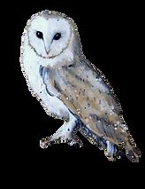 Barn_Owl_II_%25C2%25A9Deborah_Burrow_edi