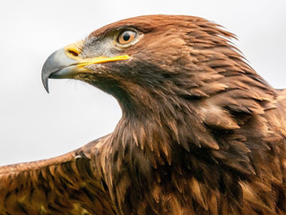 Eagle Training
