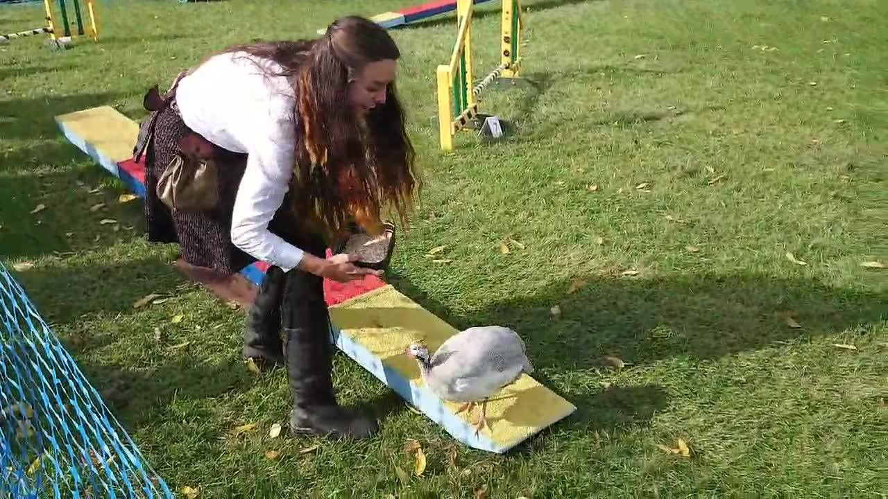 """Crunch time with """"Papua"""" our Guinea Fowl on the day at #wealdanddownlandmuseum #wealdanddownlandmuseumautumncountryshow. Time trial with the full circuit  😂.  One minute & 20 seconds 😂😂. Thank you again MAD ABOUT DOGS for letting Papua compete on you"""