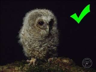 What to do if you find a young Tawny Owl
