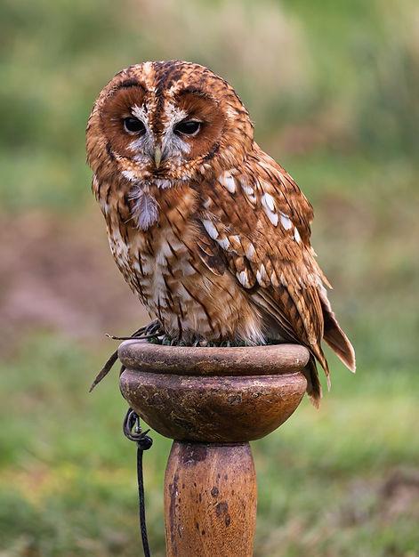 Luna tawny owl.jpg