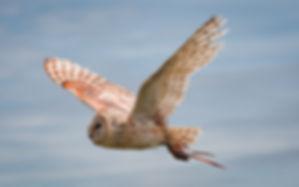 Owlinflight-1.jpg