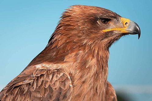 Tawny Eagle - Rhani