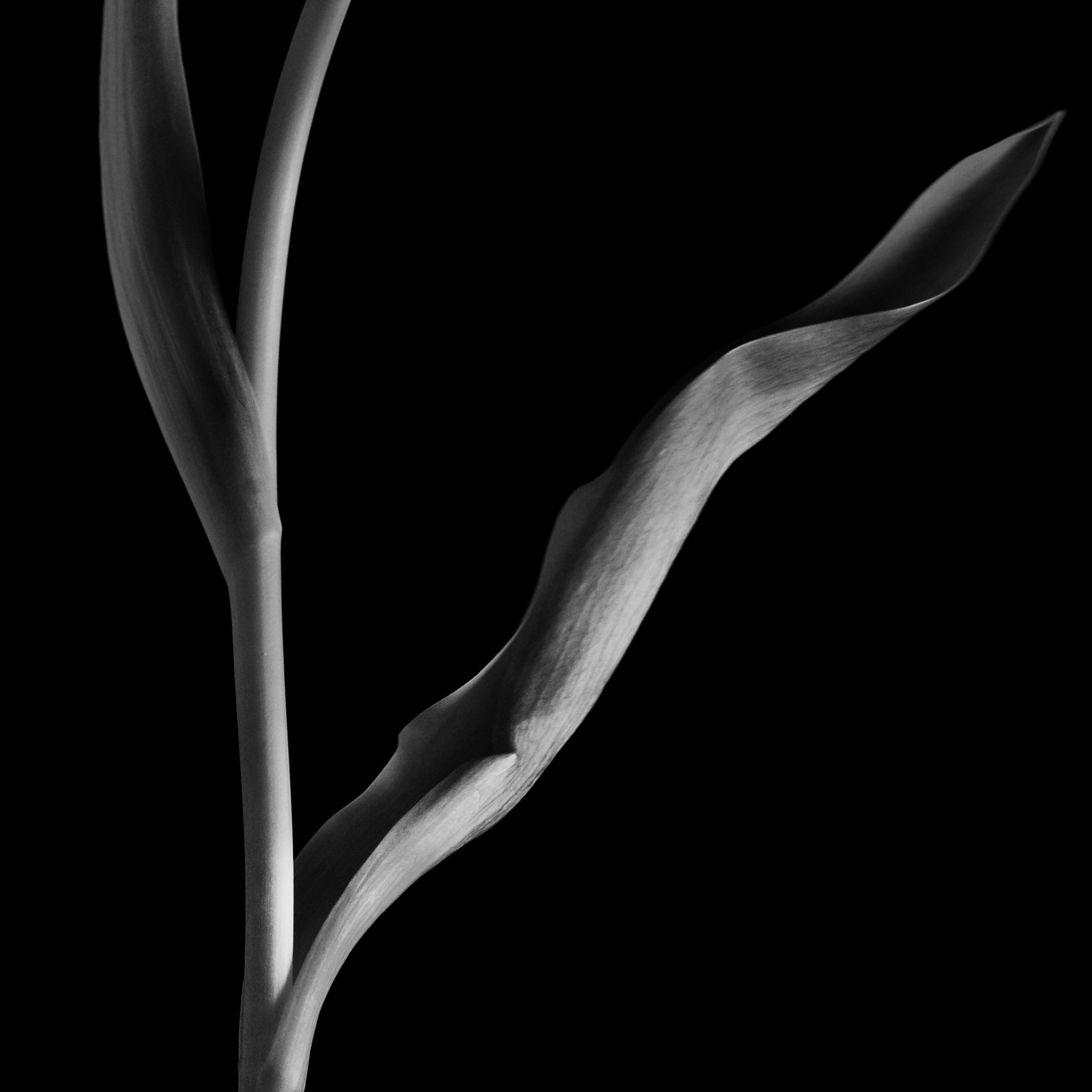 Tulipan2_5