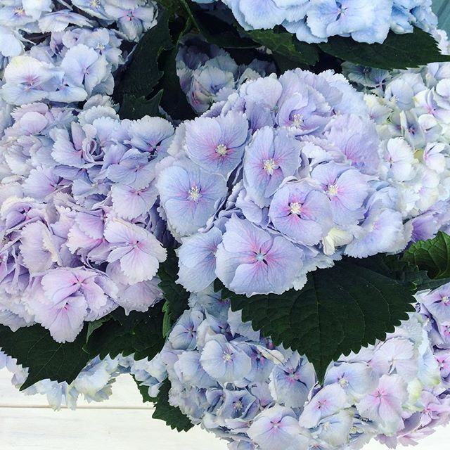 👀 look at the colour of these _bluemagicgreenhouses hydrangeas!