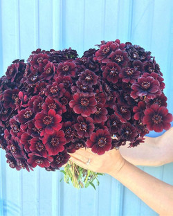 We are literally picking armloads of chocolate cosmos every few days! And yes, they do smell like ch