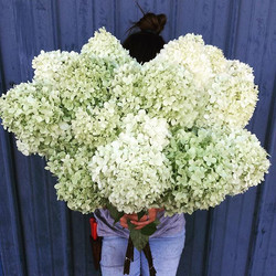 Limelight hydrangeas_ perfect ingredient for a fresh summer palette