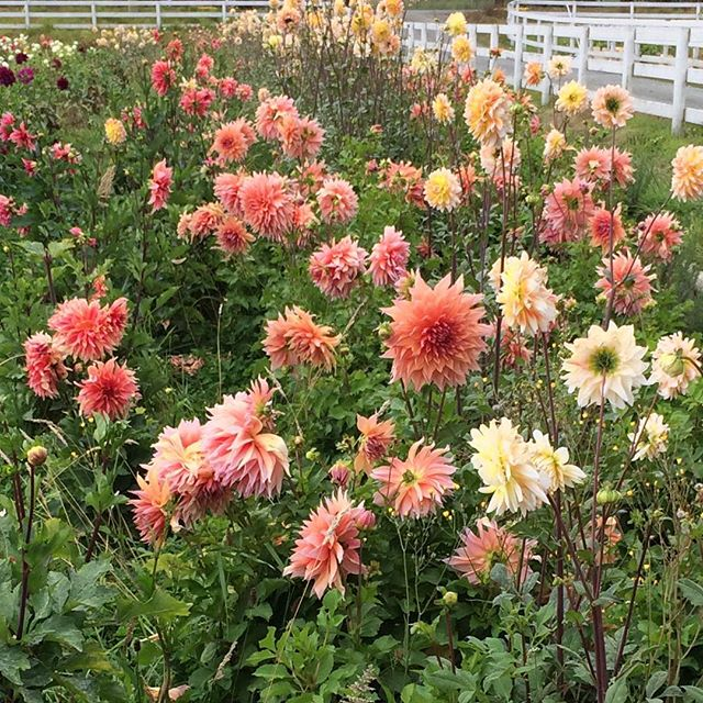 The dahlia colours lend themselves to mellow September as beautifully as they did to busy August