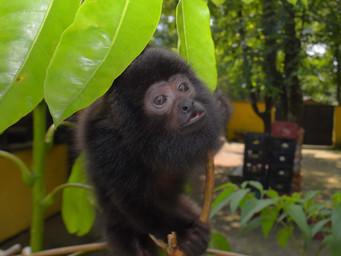 São Paulo: morte de macacos fecha parques e preocupação com febre amarela está de volta