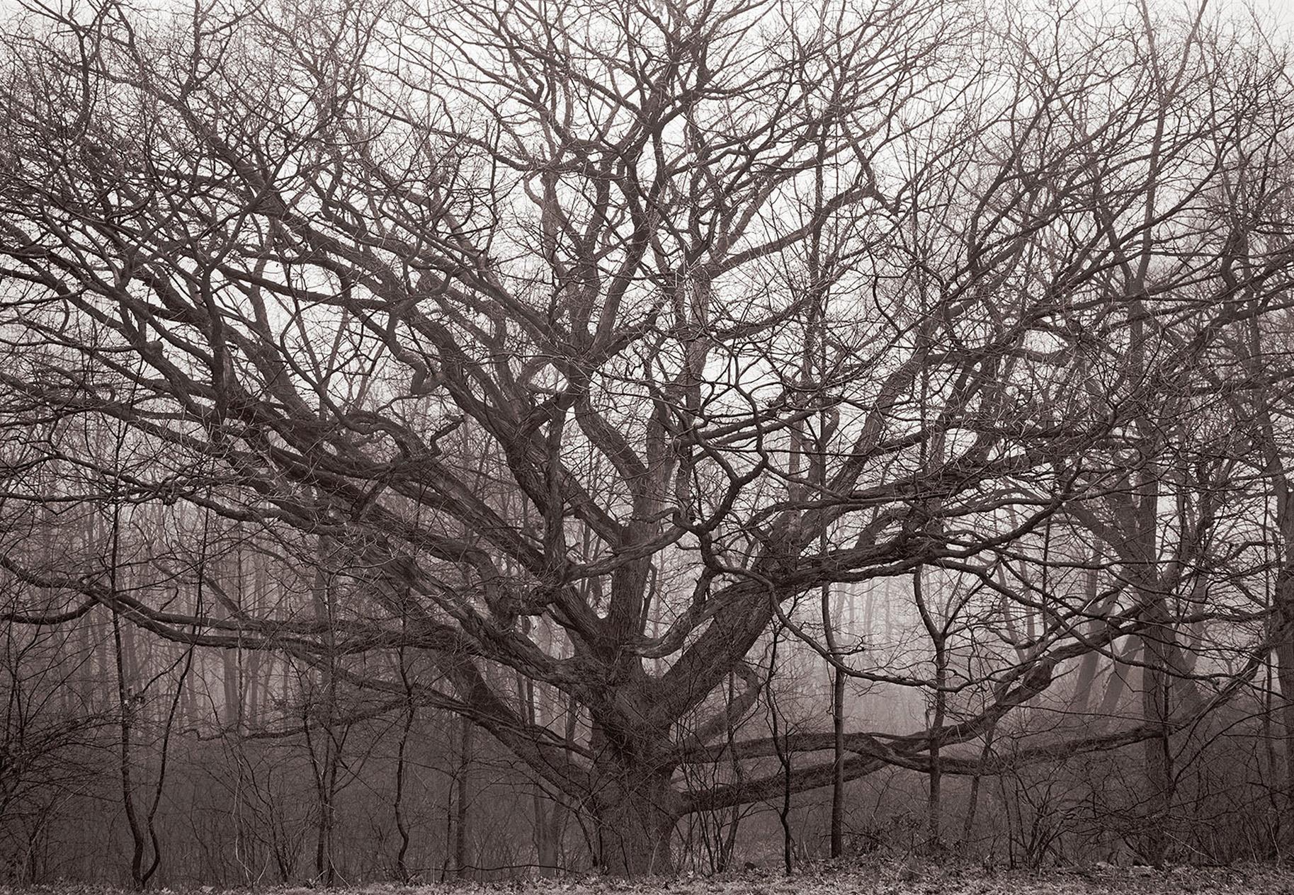 Oak tree_v2_FINAL_MR