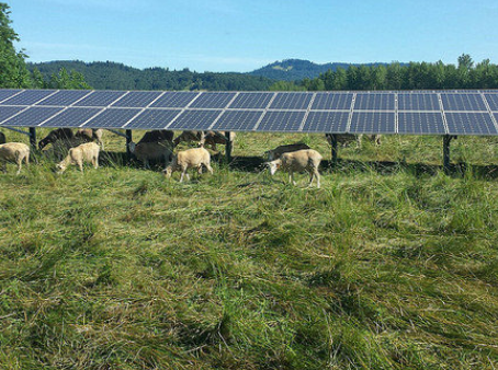 OSU solar panels have grazers made in the shade