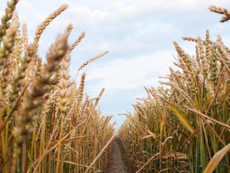 Comment stocker des grains issus de l'agriculture biologique ?