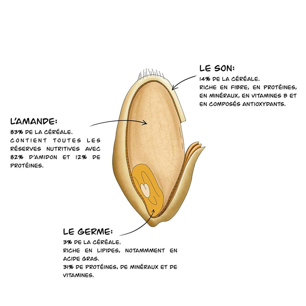 illustration Moulin Astreia - la composition du grain de blé - Moulin à Farine professionnel et agricole