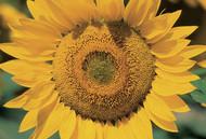 kansas-state-flower.jpg