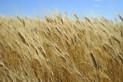 wheatreadyfo.jpg