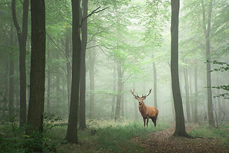 Red deer stag in Lush green fairytale gr