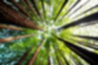 Ancient California redwood trees, Beech