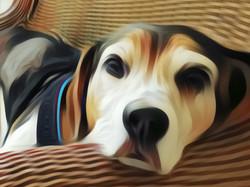 My Beagle