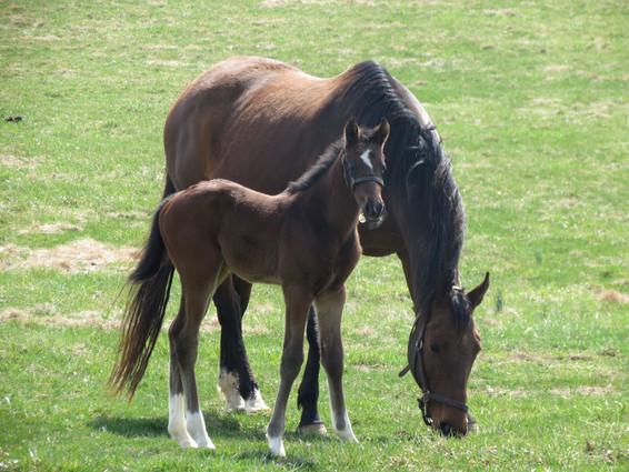Two Horses Grazing.jpg