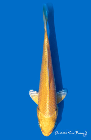 Yamabuki-15cm