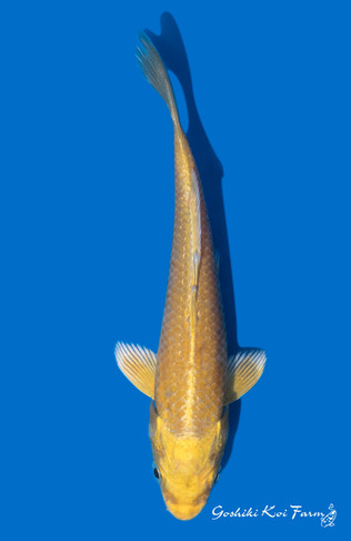 Yamabuki-25cm