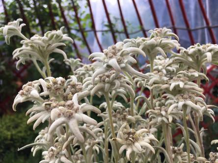 Edelweiss im Topf