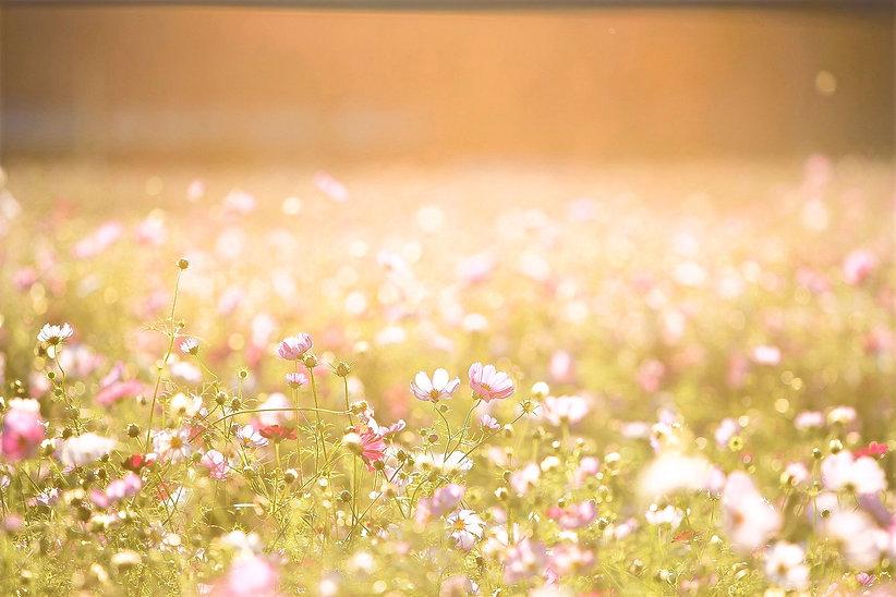 cosmos-flowers-1138041_edited.jpg