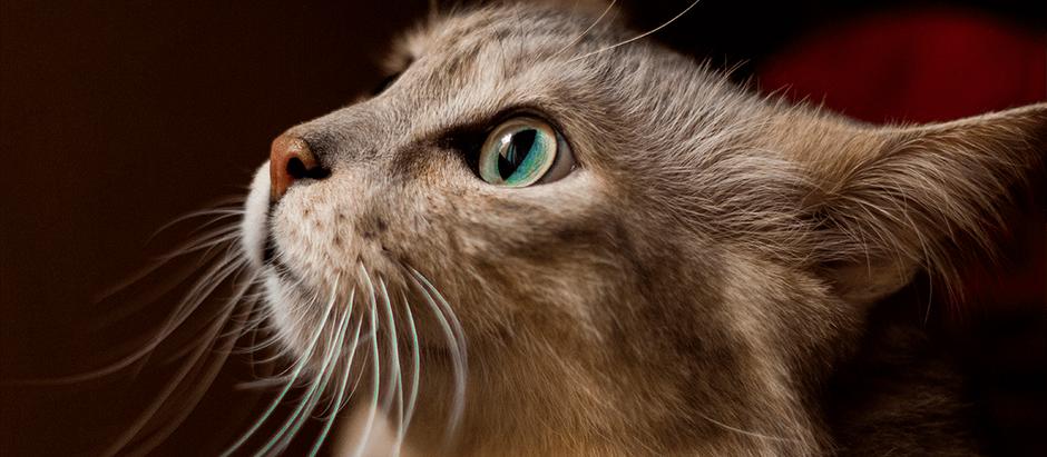 ¿Cómo ayudo a mi Gato a prevenir problemas urinarios?