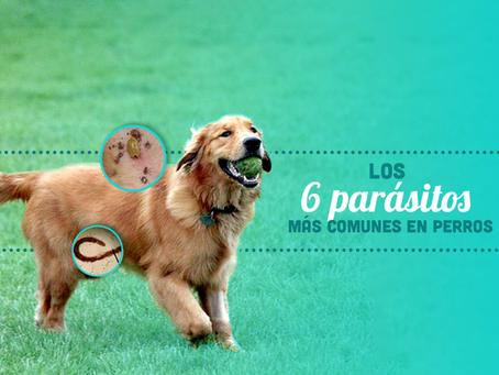 Los 6 parásitos más comunes en perros