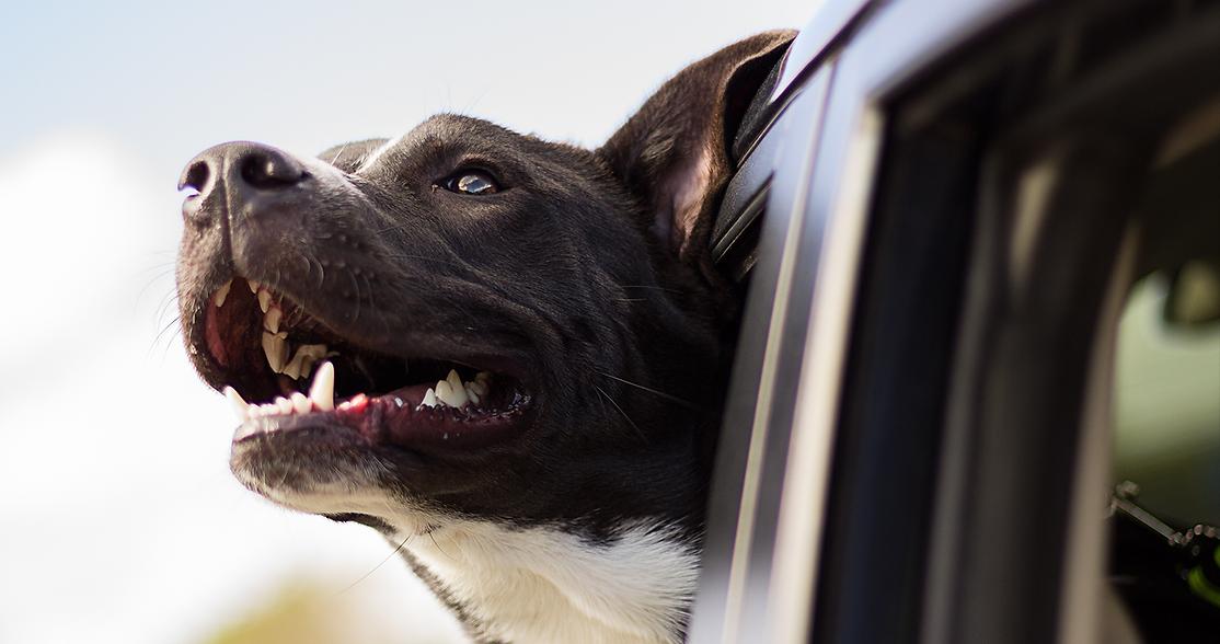Perro en ventana de carro