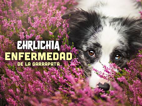 Ehrlichia: La enfermedad de la Garrapata