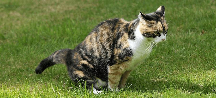 Problemas Urinarios en Gatos