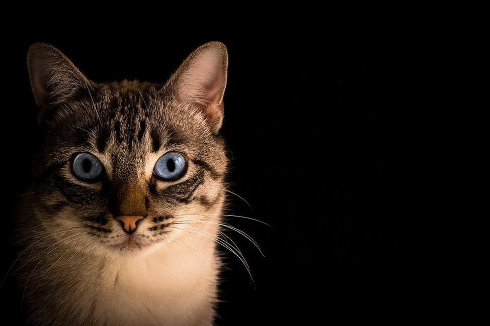 Gato fondo negro