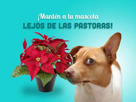 Plantas navideñas peligrosas para las mascotas