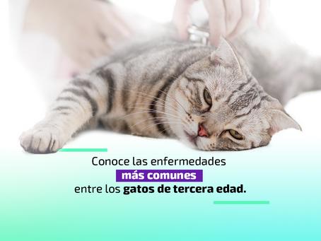Conoce las enfermedades más comunes entre los gatos de tercera edad
