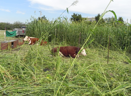 Warm Season Cover Crops and Grazing after Wheat or Silage (July 2018)