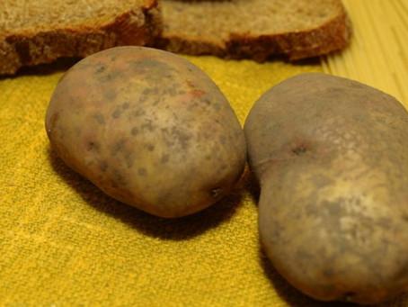 Картофель стал в прямом смысле «вторым хлебом»...
