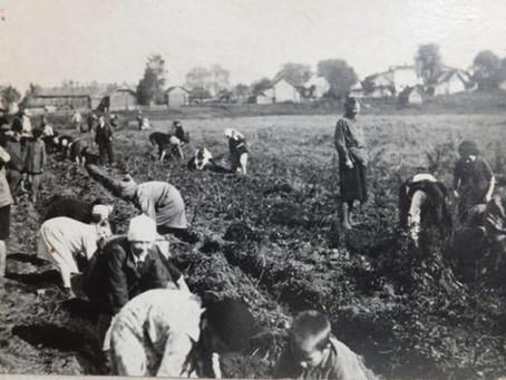 Помимо уроков и домашних заданий, ребята работали в пригородных хозяйствах...