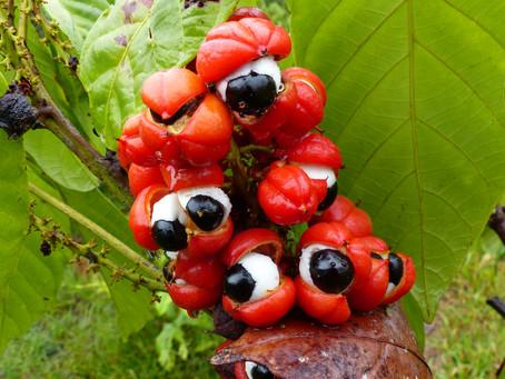Guarana powder, better than Coffee!