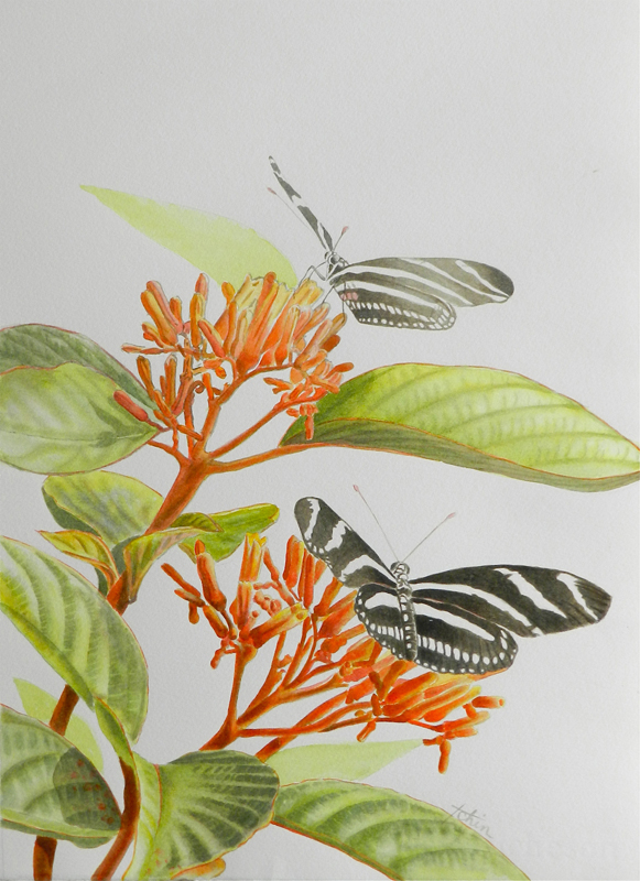 Teresa Chin_Zebra Longwings on Firebush