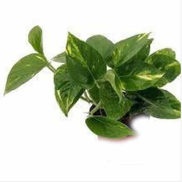 Money Plant Green.jpg
