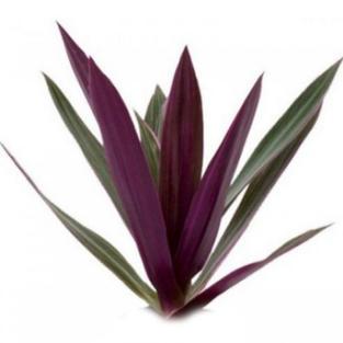spathacea maroon.jpg
