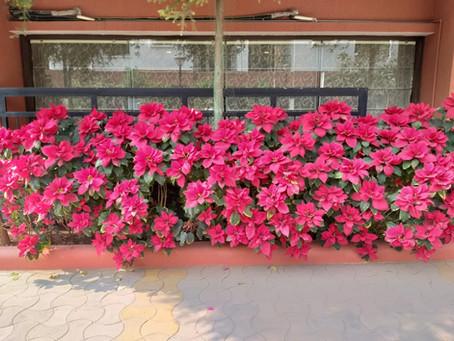 Poinsettia-The Christmas Plant