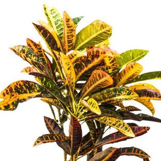 Croton miniature.jpg